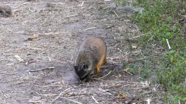 raccoon looking for turtle eggs