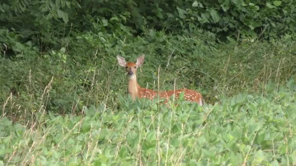 White tailed young  deer