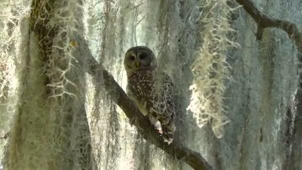 Hřady Barred sova na větvi