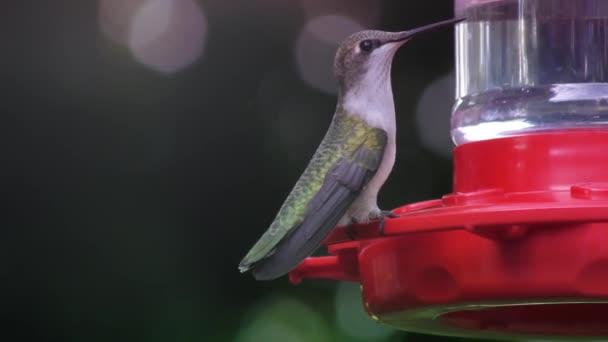 Ruby throated kolibřík ženské