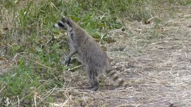 wild raccoon  looking for food