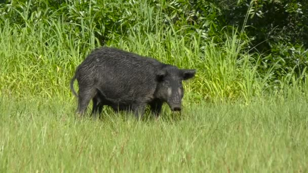 Wild boar walking in the green grass