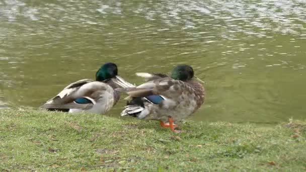 Two Mallard ducks near Lake