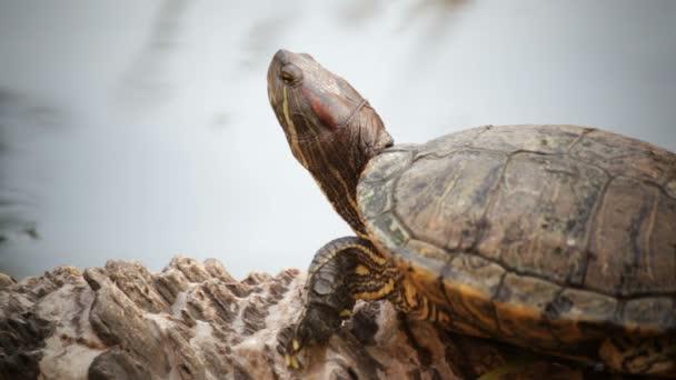 teknős, vörös fülű csúszka vagy Trachemys scripta elegans napozni a vízvonal, Hd