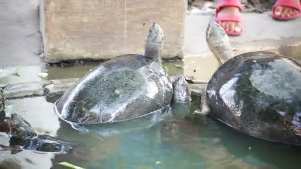 Kaplumbağa Besleme Bilim Kırmızı Kulaklı Kaymak Veya Trachemys
