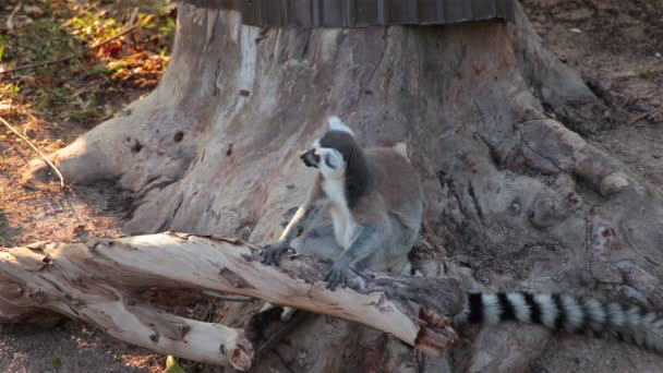 Ring-tailed Lemurs sitting on tree and looking around