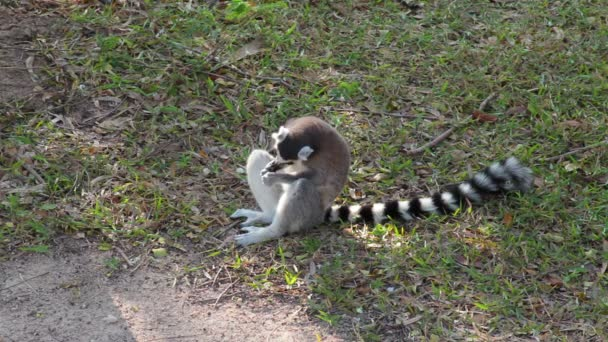 Ring-tailed Lemurs eating on ground and looking around