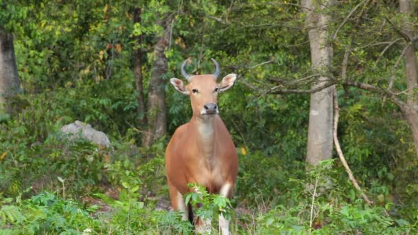Banteng or Red Bull female stand and looking in forest