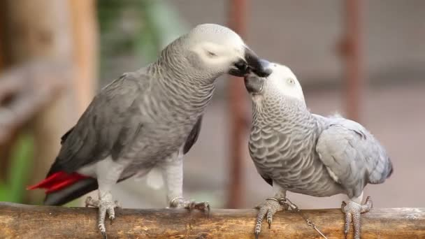 Couple Gray African Parrot kissing and take care together