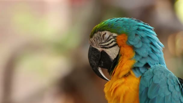 parrot macaw blue and gold sleeping, closeup