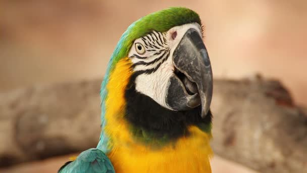 parrot macaw blue and gold, closeup