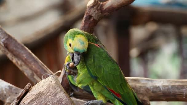 Papoušek Amazon amazoňan Panama