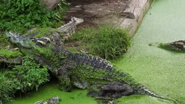 Alligator or Crocodile climb or walking from river or pond