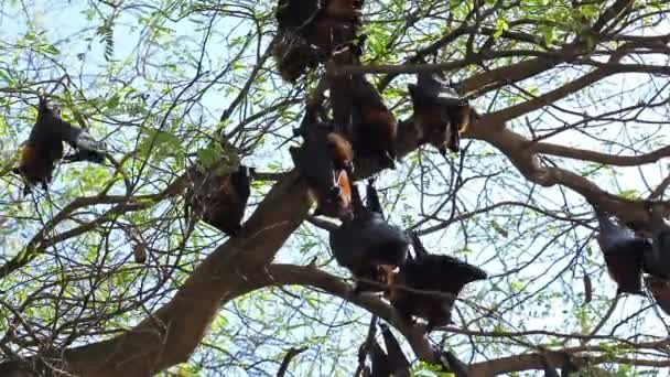 Fledermaus hängen auf einem Baum Zweig malaiischen Fledermaus oder Lyle es fliegenden Fuchs Wissenschaft Namen Pteropus lylei, Low-Winkel des Blickes geschossen