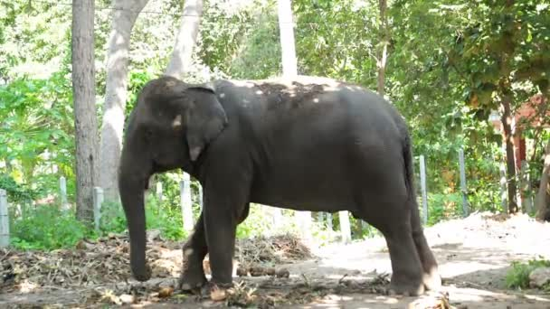 Asian elephant, stand under tree in the forest, tilt down angle shot