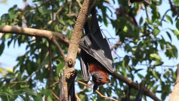 Bat hanging on a tree branch Malayan bat or Lyles flying fox science names Pteropus lylei, low-angle of view shot