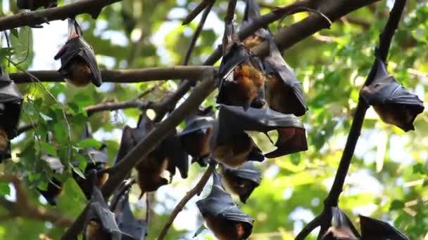Gruppe von Fledermaus hängen auf einem Baum Zweig malaiischen Fledermaus oder Lyle es flying fox Wissenschaft Namen Pteropus lylei, niedriger Blickwinkel geschossen