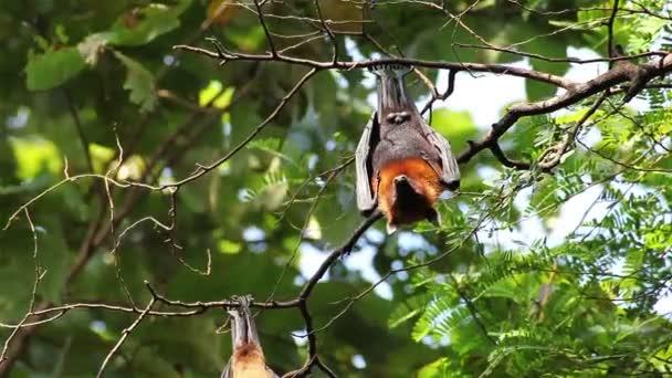 Fledermaus hängt an einem Ast malaysische Fledermaus oder lyle s flying Fox Wissenschaft Namen pteropus lylei, Low-Winkelaufnahme