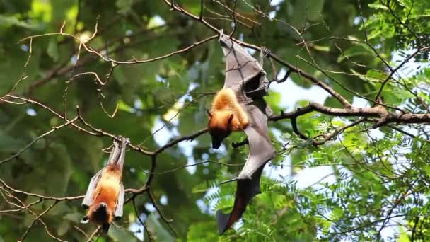 Group of Bat hanging on a tree branch Malayan bat or Lyles flying fox science names Pteropus lylei, low-angle of view shot