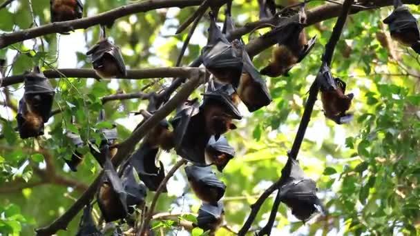 Gruppe von Fledermäusen, die an einem Ast hängen malaysische Fledermaus oder lyle s flying Fox Wissenschaft Namen pteropus lylei, Low-Winkelaufnahme