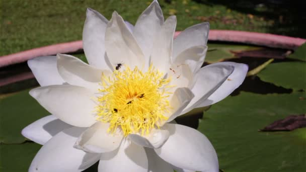 White lotus and bee on the pond