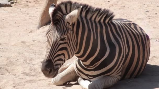 Common Zebra, science names Equus burchellii, lay down and relax on the ground, closeup