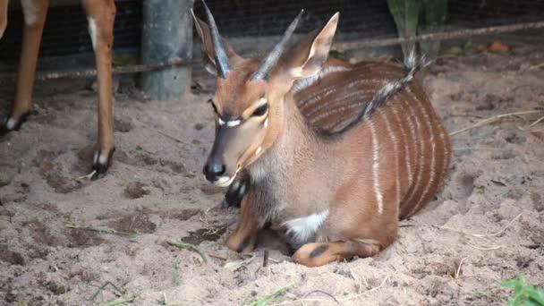 Jelen, věda, názvy strakaté jelen nebo Axis deer sedět na zemi