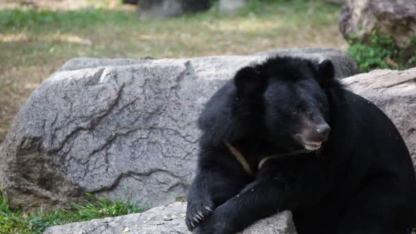Asijský černý medvěd nebo tibetské černý medvěd, vědecké názvy Ursus thibetanus, kterým se stanoví a relaxovat na dřevo