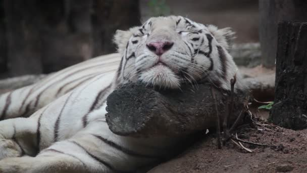 White bengal tiger is sleeping, and relax on timber under tree