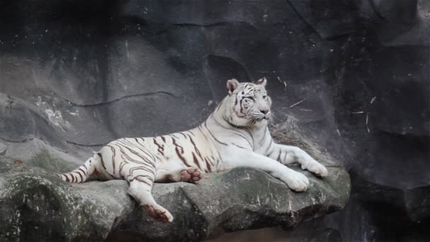 White bengal tiger, lying, relax, and watching on cliff
