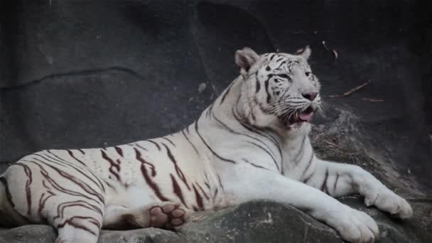 Bílý tygr bengálský, ležící, relaxovat a dívají se na skále