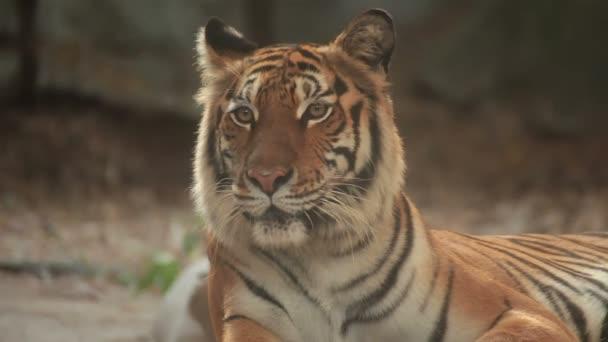 Tygr bengálský, lhaní, klid a dívají se na zemi