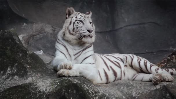 Bengáli tigris, fekvő fehér, pihenjen, és figyeli a szikla