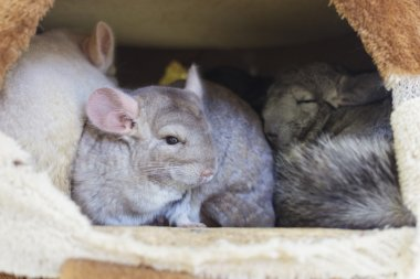 Chinchilla groups sleeping in hol