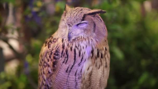 Evropská Eagle owl nebo euroasijských výr, spaní a sledovat v Hd, detailní záběr
