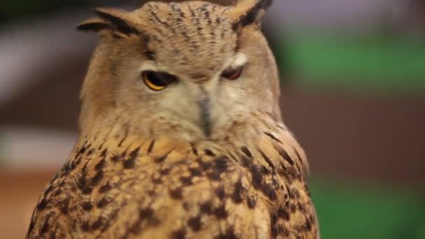 Evropská Eagle owl nebo euroasijských výr pohledu a sledují v Hd, detailní záběr