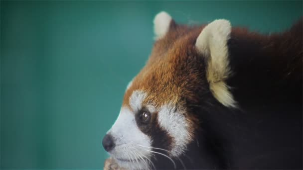 Red panda, science names Ailurus fulgens called lesser panda, red bear-cat, on the tree, closeup in HD