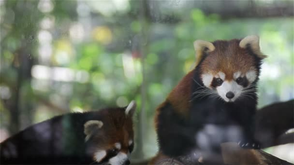 Couple Red panda, science names Ailurus fulgens called lesser panda, red bear-cat, on the tree, closeup in HD