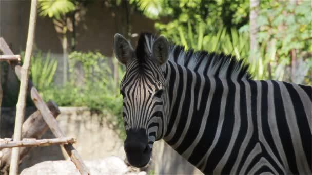 Společné Zebra, věda, názvy Equus burchellii, detailní v Hd