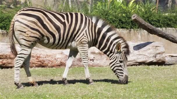 Společné Zebra, věda, názvy Equus burchellii, jíst v louky, Hd