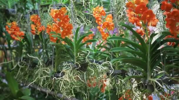 Orange color Orchid flowers in the garden in HD