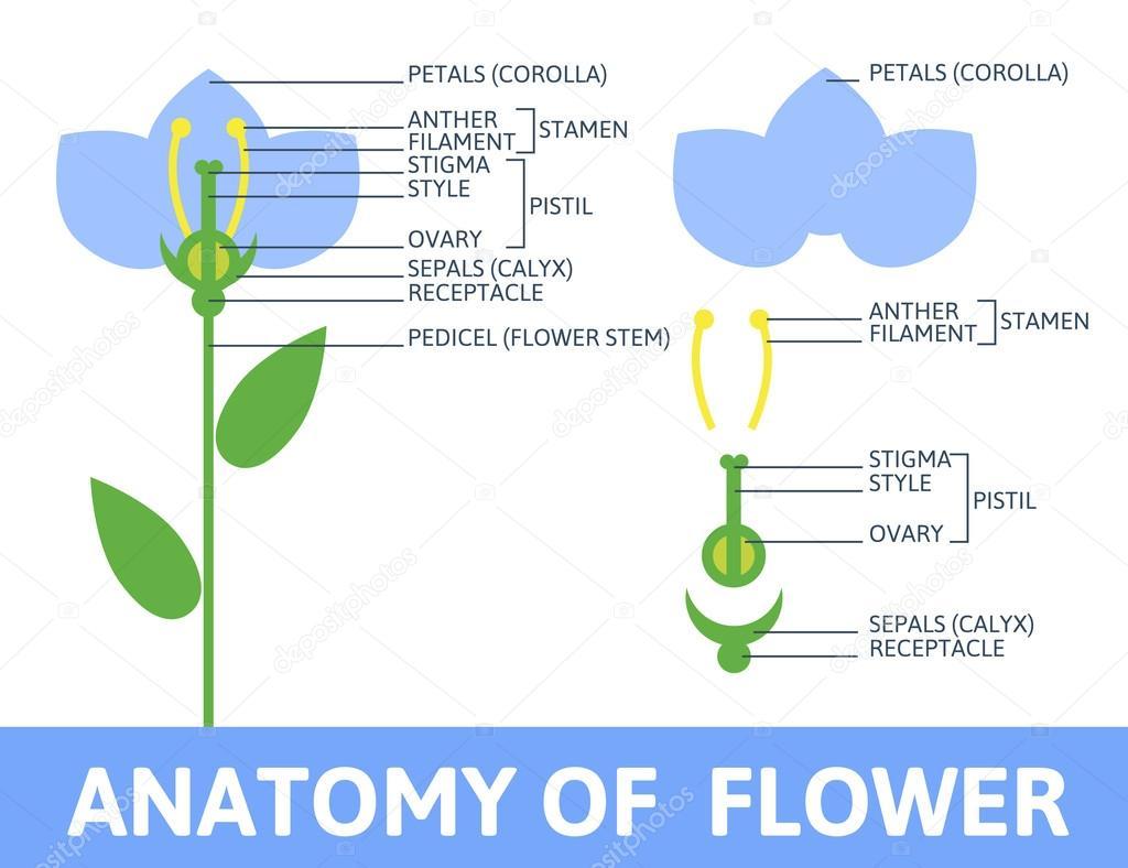 Detail der Anatomie Blume — Stockvektor © belopoppa #58286881