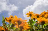 cinea angustifolia virágok
