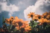 cinea angustifolia virágok vintage