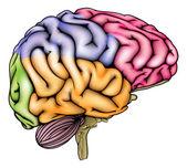 Emberi agy anatómiája szekcionált