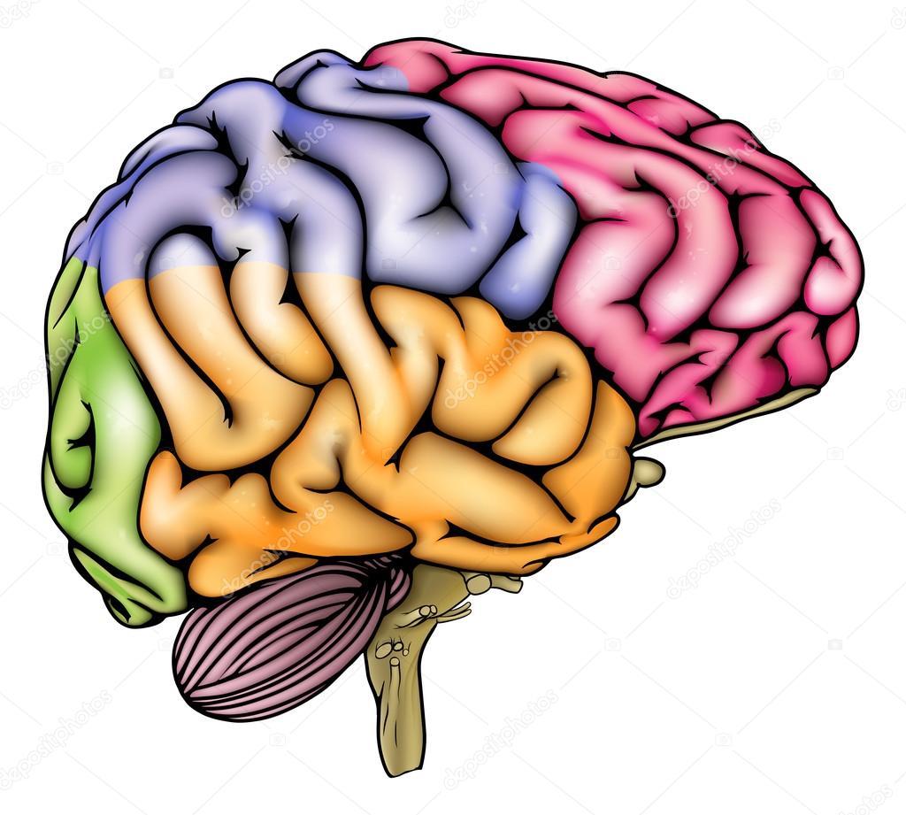 Human Brain Anatomy Sectioned Stock Vector Krisdog 80601494