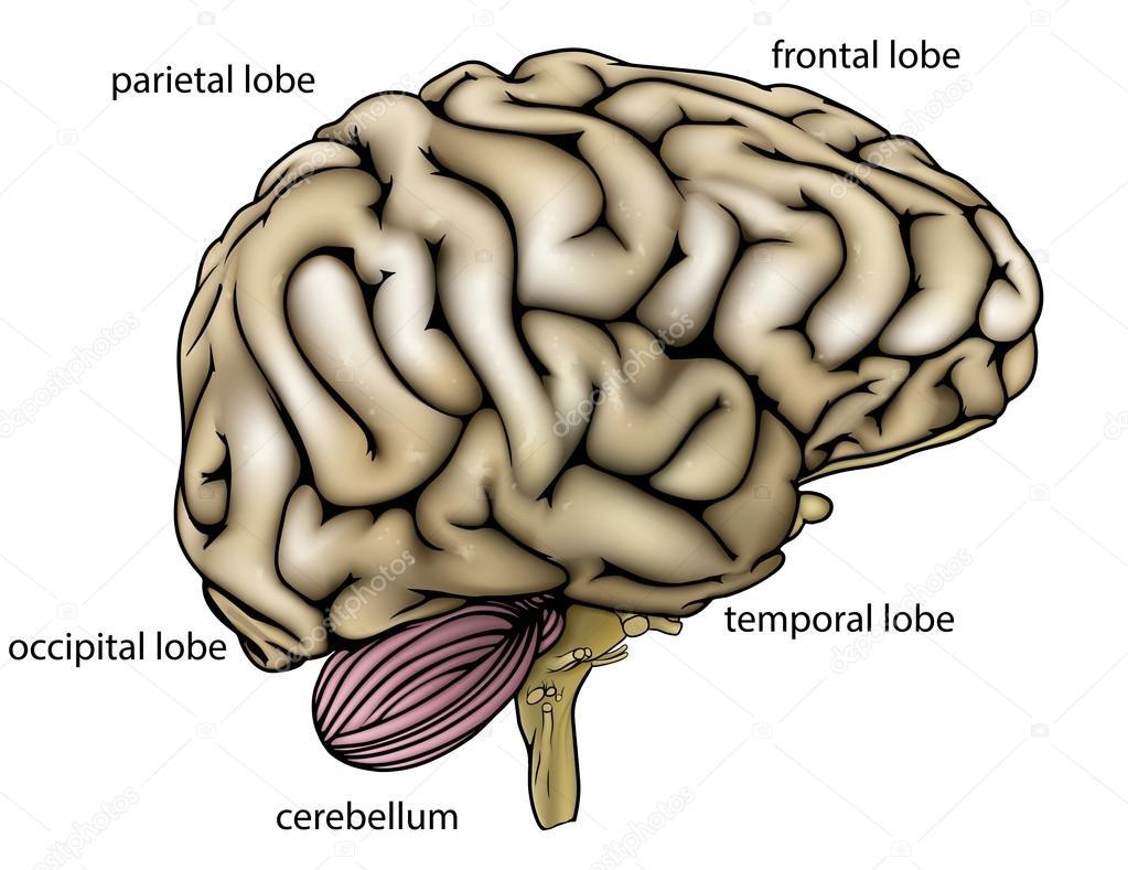 Diagrama etiquetado de anatomía cerebral — Vector de stock © Krisdog ...