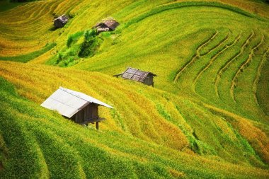 Rice fields on terraced of Mu Cang Chai, YenBai