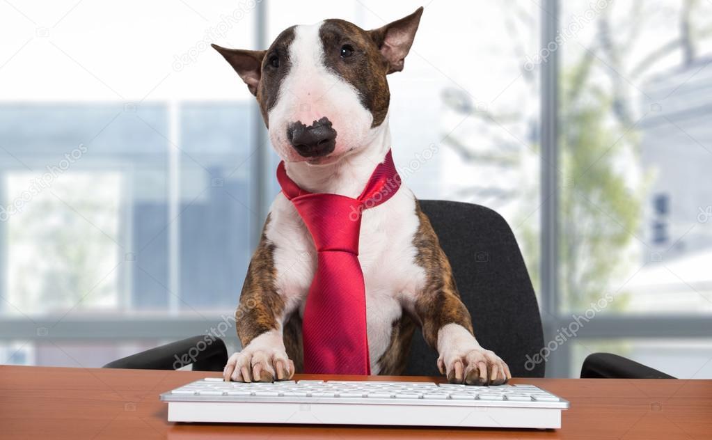 Miniature Bull Terrier Dog At Office Desk Stock Photo 114729868
