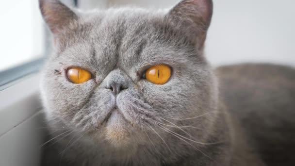 Graue stolze Katze liegt auf Fensterbank.
